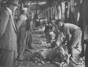 Trabajadores esquiladores, parte importante de los obreros ganaderos en la Patgonia chileno-argentina